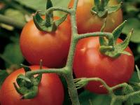 Tall vines bears large, red cherry tomatoes. One of the