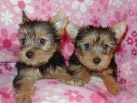 Seeking a good home for my Yorkie puppies. You can text