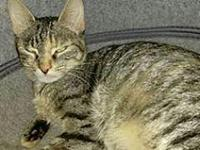 My story Selena - female Tabby/CoThe Domestic shorthair