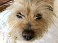 Selene is a mellow Yorkie mix who is looking for her