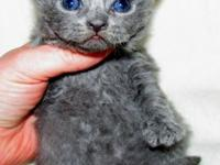 Selkerk Rex Kittens- Blue Male, Black Male, Brown