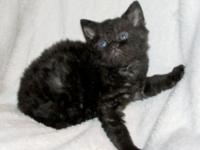 Black Selkirk Rex Male Kitten- Vaccinated and wormed.