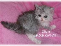 CFA SELKIRK REX CURLY HAIR KITTENS AVAILABLE!! Lexi is