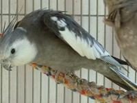hello im selling my pair of cockatiel a whiteface grey