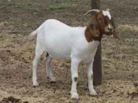 Sadly we must start selling off our entire Boer goat