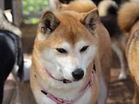 Sencha's story Sencha is a 9 year old red female Shiba