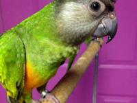 We have simply 1 senegal parrot offered. This infant is