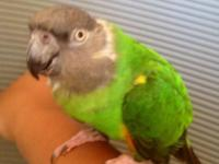 Calais is a young vibrant Senegal Parrot who acts like