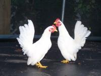 Serama Banty Chickens, smallest chickens in the world,