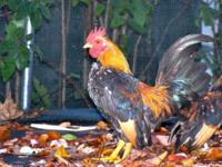 Serama Banty Chickens 1-pair beautiful rooster and hen