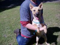 4-6 month old female Shepherd mix pup about 30 pounds.