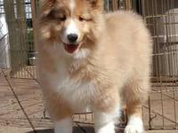 UPDATED ON>> 06/2018>> We may have a Collie or Sheltie