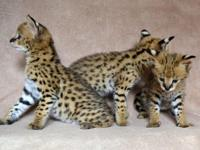 We have a male and 2 females serval kitten now