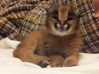 kitten meowing sounds