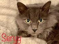 My story Seryy is a stunning long hair Russian Blue