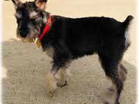 Seth ~  7 month old Schnauzer  So I know you're
