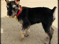 Seth's story Seth ~ 7 month old Schnauzer So I know