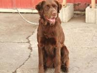 Setter - Betsy-pending - Large - Adult - Female - Dog
