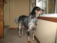 Setter - Max The Setter - Large - Adult - Male - Dog