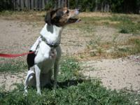 Belle is a 7 year old Whippet/Jack Russell mix. She is