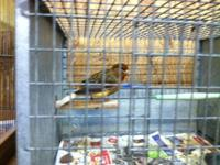 I have those birds for sale:. 1 man canary. It's a