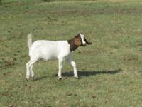 several goats for sale. -5 year old boer doe mix.lots