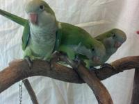 Currently hand feeding: Green quakers, 3 available $150