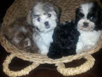 Since today we have 2 male liver (chocolate) shih tzus,