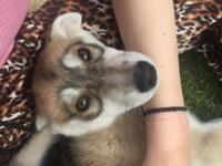 Gorgeous, 100% Purebreed Siberian Husky Puppy available