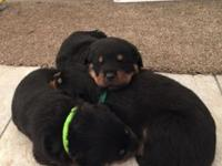asdfkjfkhfkj Quality litter rottweiler puppies ready