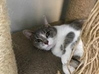 Shadow is a grey and white female Domestic Shorthair