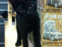Shadow: Unaltered Male, Black domestic short-hair baby
