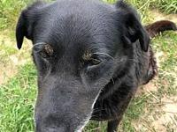 Shadow's story Shadow is a 7 year old lab mix who was