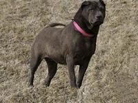 Shadow's story Shadow is a 40 pound (small) female shar