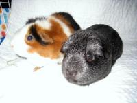 Tango and Shadow are a bonded pair of adorable guinea
