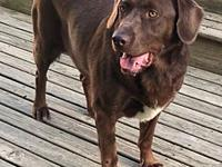My story Adult lab mixShammy is an adult Labrador mix