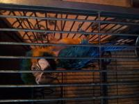 I have for sale a 1 1/2 yr. old Shamrock Macaw. She is