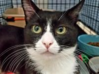 SHAMU is an adorable and sweet one year old tuxedo boy