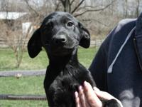 Shandy is an 11 week old Lab/Catahoula mix.  $400