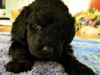 F1.b.b Labradoodle puppy, absolutely beautiful. Jet