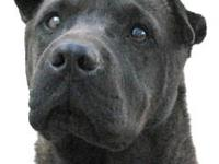 Shar Pei - Ace - Medium - Adult - Male - Dog What a