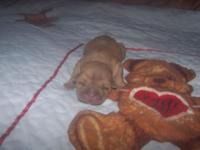 1 blue female shar pei puppy and fawn male puppy