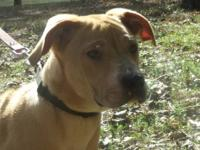 Shar Pei - Cappy - Medium - Young - Male - Dog This is