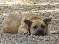 Shar Pei - Colt - Large - Young - Male - Dog