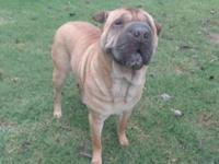 Shar Pei Female 6 1/2 years old with sweet temperment
