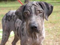 Shar Pei - Flex - Large - Adult - Male - Dog (For more