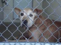 Shar Pei - Gaston - Medium - Adult - Male - Dog