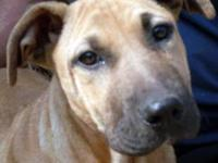Shar Pei - Nova - Small - Young - Female - Dog