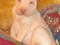 Beautiful 12 week old female Shar-pei puppy. She has no