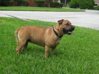 Shar Pei - Rasher - Medium - Adult - Female - Dog